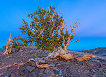 The Bristlecone Pine (Pinus Aristata)
